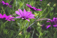 Close-Up Photography of Purple Daisybush Flowers Royalty Free Stock Images