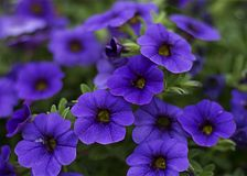 Close-Up Photography of Purple Petunia Flowers stock photography
