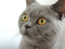 Close Up Photography of Russian Blue Cat Stock Image
