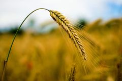 Close Up Photography of Rye Stock Photography
