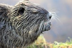 Close up photography of a single nutria or coypu while eating a carrot at a river bank on a bright sunny day. stock images