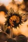 Close-Up Photography of Sunflower Stock Photography