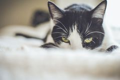 Close-up Photography of a Tuxedo Cat Stock Photo