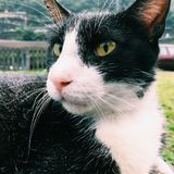 Close-up Photography of Tuxedo Cat Royalty Free Stock Image