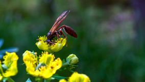 Close-up photography of a very large paper wasp stock image