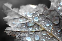 Close Up Photography of Water Dew on Brown Maple Leaf stock image