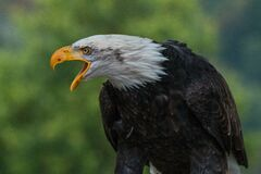Close Up Photography of White Black Eagle during Daytime Royalty Free Stock Image