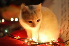 Close-Up Photography of White Cat Besides Christmas Lights Stock Photo