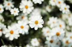 Close-Up Photography of White Daisy Royalty Free Stock Images