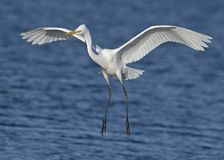 Close-up Photography of a White Egret Royalty Free Stock Photo