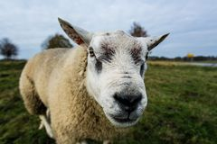 Close Up Photography of White Sheep Stock Photo