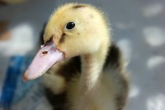 Close Up Photography of Yellow and Black Duckling Royalty Free Stock Photo