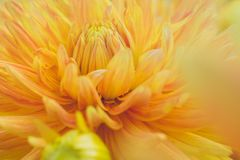 Close-Up Photography of Yellow Dahlia Flower Stock Photo