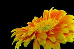 Close-up Photography Yellow Gerbera Daisy Flower stock photo