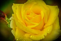 A yellow rose. Close up photography Royalty Free Stock Photography