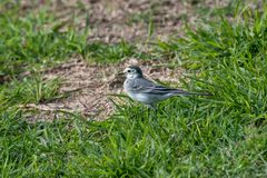 White wagtail, bird.The wagtails form the passerine bird genus M Royalty Free Stock Photos
