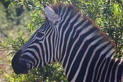 Close-Up Photography of Zebra Royalty Free Stock Images