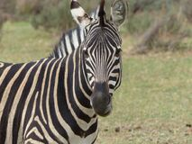 Close Up Photography of Zebra Animal during Daytime Stock Images