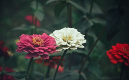 Close-Up Photography of Zinnia Flowers Stock Images