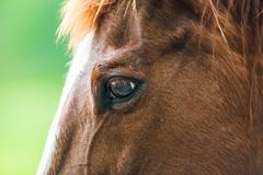 Close-up photos of brown horses on the meadow in Great smoky mountains national park,Tennessee USA. Close-up photos of brown horses on the meadow in Tennessee stock images