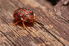 Close up photos of colorful ladybugs Coccinellidae on wood bac. Kground Royalty Free Stock Photo