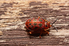 Close up photos of colorful ladybugs Coccinellidae on wood bac. Kground Stock Images