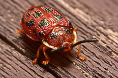 Close up photos of colorful ladybugs Coccinellidae on wood bac Royalty Free Stock Images