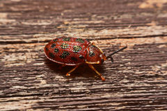 Close up photos of colorful ladybugs Coccinellidae on wood bac Royalty Free Stock Photos