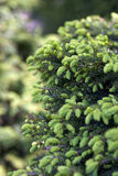 Close-up of Picea abies Inversa, garden spruce. Selective focus and shallow depth of field. Royalty Free Stock Image