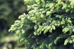 Close-up of Picea abies Inversa, garden spruce. Selective focus and shallow depth of field. Royalty Free Stock Photos