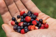 Close up. Picking wild berries. On the palm of a handful of bilberries and wild strawberries. Close up, macro. Picking wild berries. On the palm of a handful of stock images