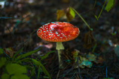 Close-up picture of a Amanita mushroom in nature Stock Photos