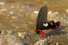 Close up picture of beautiful butterfly. red and black butterfly on the ground. Picture with copy space. Beautiful insect Royalty Free Stock Images