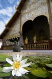 White water lily in front of Chiang Man temple royalty free stock images