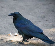 Close up picture of big black raven outdoor Royalty Free Stock Image