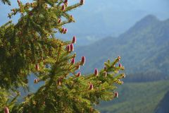 Close up picture of blossomed pine branches Stock Photography