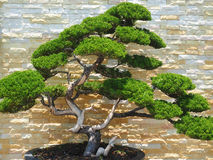 Close up picture  of a Bonsai tree Royalty Free Stock Images