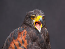 Close up picture of braying young golden eagle Stock Photography