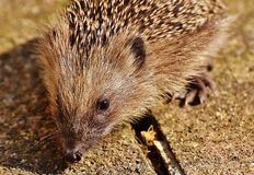 Close Up Picture of Brown Hedgehog Royalty Free Stock Photos