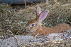 Close up picture of brown rabbit Royalty Free Stock Photos