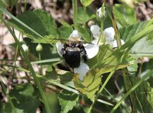 Bumblebee, Flower, White, Outside, Pollination royalty free stock images