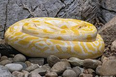 Albino specimen of Burmese python snake from south east asia. Close-up picture of Burmese Python python bivittatus stock photo