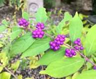 Close up picture of Butterfly Bush fruits Buddleja of the Herbal Garden of Kobe royalty free stock images