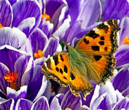 Close up picture of butterfly on the spring flower Royalty Free Stock Image