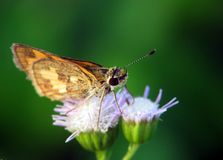 Brown butterfly and two flower. Close up picture of a butterfly on top of two flower Stock Photos