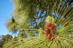 Close up picture of Canary Island pine Pinus canariensis. In Teide National Park, Tenerife, Spain stock images