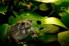 Common toad on green leaf Stock Photo