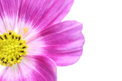 Close up picture of cosmos Royalty Free Stock Photo