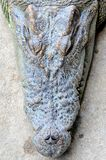 Close up picture of Crocodile head. Crocodile is opening its mouth royalty free stock photos