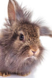 Close up picture of a cute lion head rabbit bunny Royalty Free Stock Images